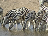 Zebra drinking at a water hole