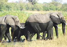 Elephants are seasonal inhabitants of the Caprivi region of Namibia
