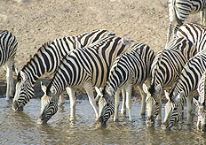The waterholes are teeming with wildlife in the famous Etosha National Park