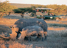 The White Rhinos' name is from the Afrikaans word wyd meaning wide, which refers to its wide lip
